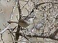 Lesser Whitethroat (Sylvia curruca) (27145574260).jpg