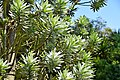 Leucadendron argenteum in Dunedin Botanic Garden 05.jpg