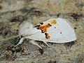 Leucodonta bicoloria - White prominent - Хохлатка двуцветная (40426349254).jpg