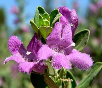 Leucophyllum - Leucophyllum frutescens 'Green Cloud'