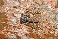 Lichen mantis Liturgusa sp. (9761358914).jpg
