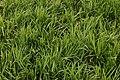 Lilyturf Liriope spicata Patch 3008px.jpg