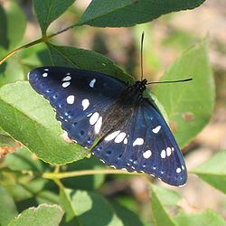 Limenitis reducta 01.jpg