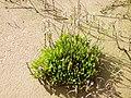 Limonium angustifolium.jpg