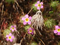 Linanthus bicolor