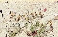 Linaria. Atlantic coast of Andalusia. Tarifa. Zahara (23903863468).jpg