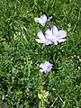 Linum hirsutum (subsp. hirsutum) sl67.jpg