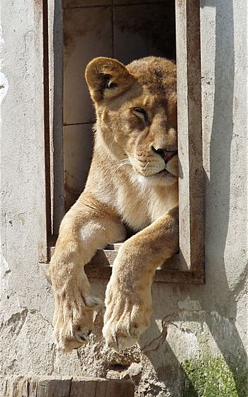 English: Sleeping lioness at Exotic Animals Pa...