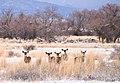 Little Shasta Valley Mule deer (5324856726).jpg