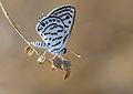 Little Tiger Blue - Tarucus balkanicus.JPG