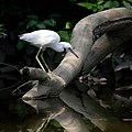 Little blue heron (5920419898).jpg