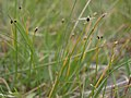Little bulrush, Trichophorum pumilum (28258216359).jpg