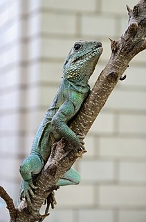 Chinese water dragon species of reptile