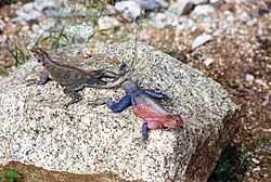 Lizards in Tanzania.jpg