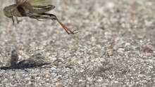 ファイル:Locusta migratoria female flying HighSpeedPhoto.webm