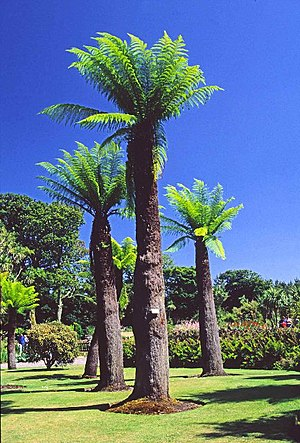 Rhins of Galloway - Tree Ferns at Logan Botanic Gardens give a tropical feel to the area