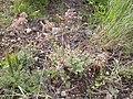 Lomatium foeniculaceum (4036547625).jpg