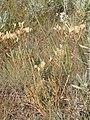 Lomatium macrocarpum (5177066200).jpg