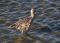Long-billed curlew (51138).jpg