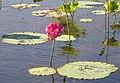 Lotus flowering at Yellow Water.jpg