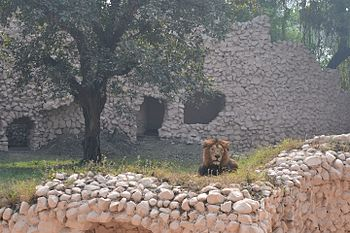 Lucknow Zoo Asiatic Lion.jpg