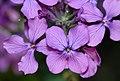 Lunaria annua - flowers (aka).jpg