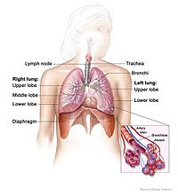 Lung and diaphragm.jpg