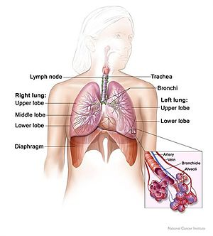 Anatomy of the respiratory system, showing the...