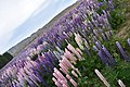 Lupins near lake tekapo region 2.jpg