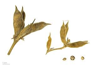 Lupinus luteus - Lupinus luteus - MHNT