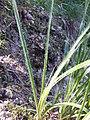 Luzula luzuloides var. luzuloides sl4.jpg