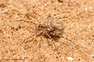 Wolf spider - Wolf spider carrying her young