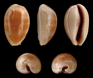 <i>Lyncina</i> genus of molluscs
