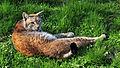 Lynx lynx, Linnaeus 1758.jpg