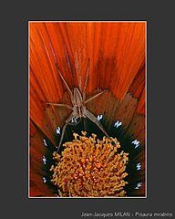 Araignée, être inoffensif dans ARAIGNEE 192px-MILAN_Jean-Jacques_Pisaura_mirabilis_3
