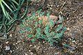 Ma-2200 (Lluc-Selva) - Euphorbia pithyusa 03 ies.jpg