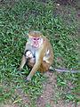 Macaca sinica-Sigiriya Village-Sri Lanka (1).jpg