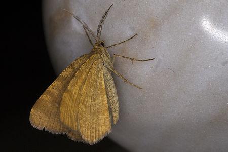 Macaria brunneata, Lodz(Poland)01(js).jpg