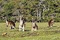Macropus giganteus group at Maria Island.jpg