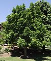 Magnolia galaxy.jpg
