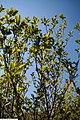 Magnolia liliflora Ann 8zz.jpg