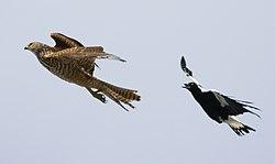 Magpie chasing Brown Goshawk (Immature).jpg