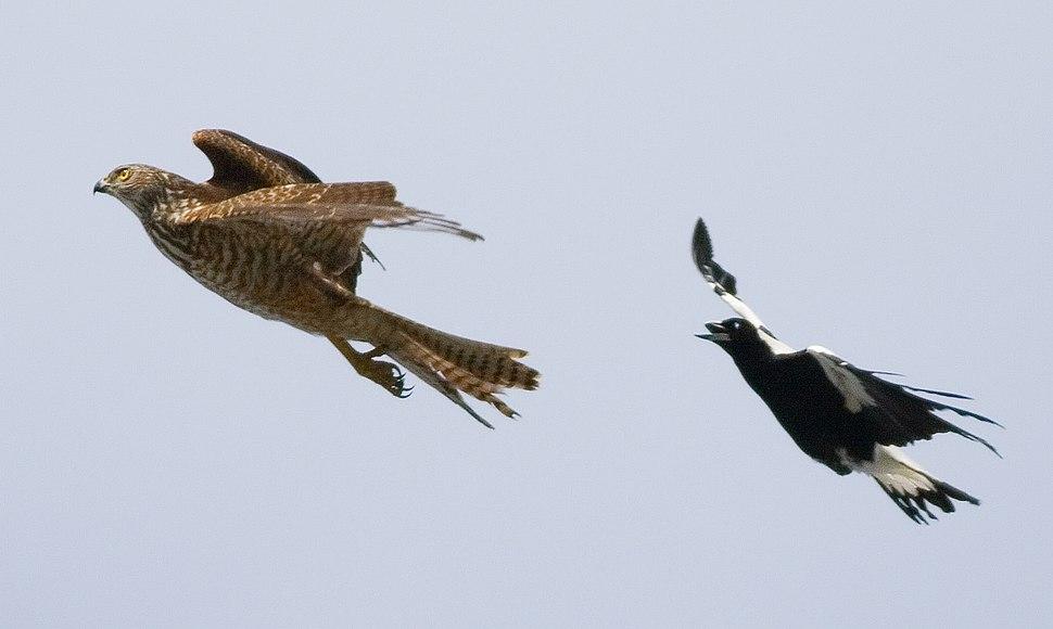 Magpie chasing Brown Goshawk (Immature)