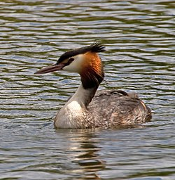 Male Great Crested Grebe (6002177930).jpg