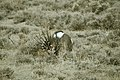 Male Greater Sage-Grouse (6948127086).jpg