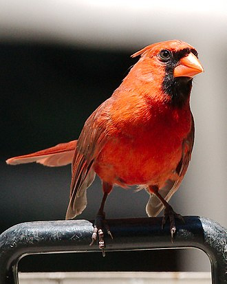 Cardinal (bird) - Male Northern Cardinal - Manhasset, NY