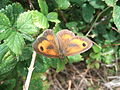 Male gatekeeper butterfly (Pyronia tithonus), Blunham, Bedfordshire (4804675507).jpg