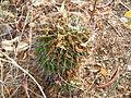 Mammillaria polyedra (5742366092).jpg