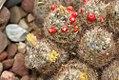 Mammillaria prolifera 1zz.jpg