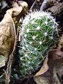 Mammillaria sphacelata (5758891139).jpg